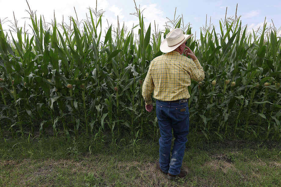 Chuck Real inspects wheat grains. Rains pounded some of his wheat, making it unsuitable for export. Photo: JERRY LARA, Staff / © 2015 San Antonio Express-News