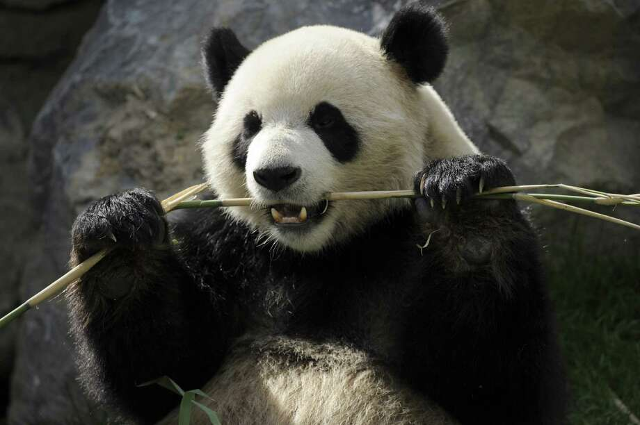 CatfootThe giant panda's Latin name is Ailuropodia melanoleuca, which means black-and-white catfoot.Which is sort of cute. Photo: JOHN THYS, Stringer / AFP