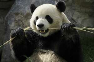 11 extremely strange things about pandas - Photo