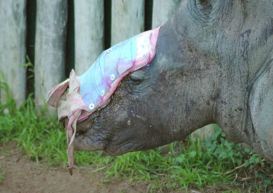 Hope is being treated with dressings where her horns used to be. Photo: Suzanne Boswell Rudham /Saving The Survivors / SAVING THE SURVIVORS