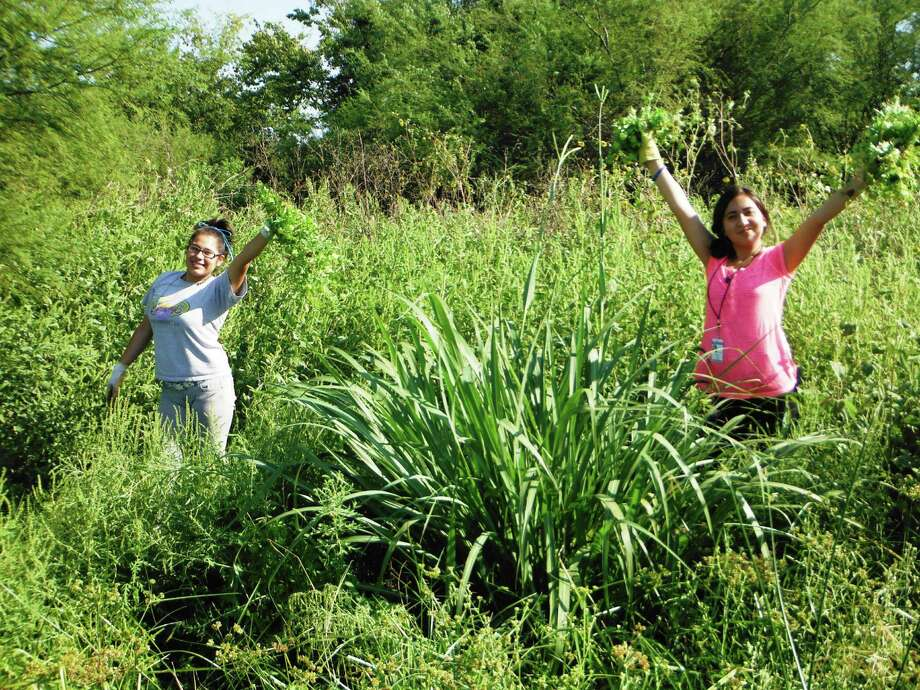 Students pull invasive species to make room for native tall grasses. Students pull invasive species to make room for native tall grasses. Photo: Westside High School