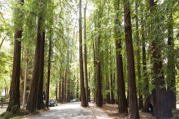 The historic redwood grove in Dolliver Park where the towering trees jut into the street and shade neighborhood cottages in Larkspur, Calif., Tuesday May 19, 2015.