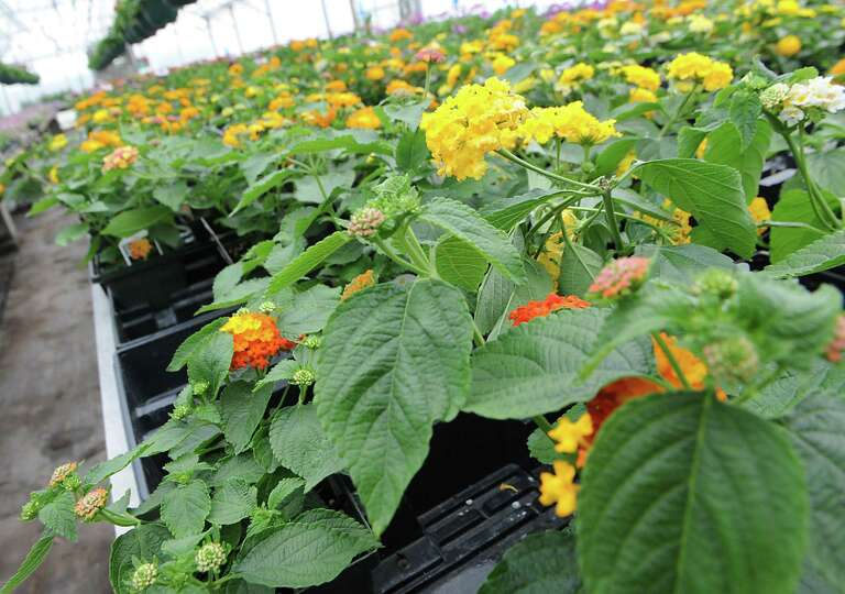 Lantana flowering plants are for sale in a greenhouse at Coleman's West Shaker Farm on Tuesday, May