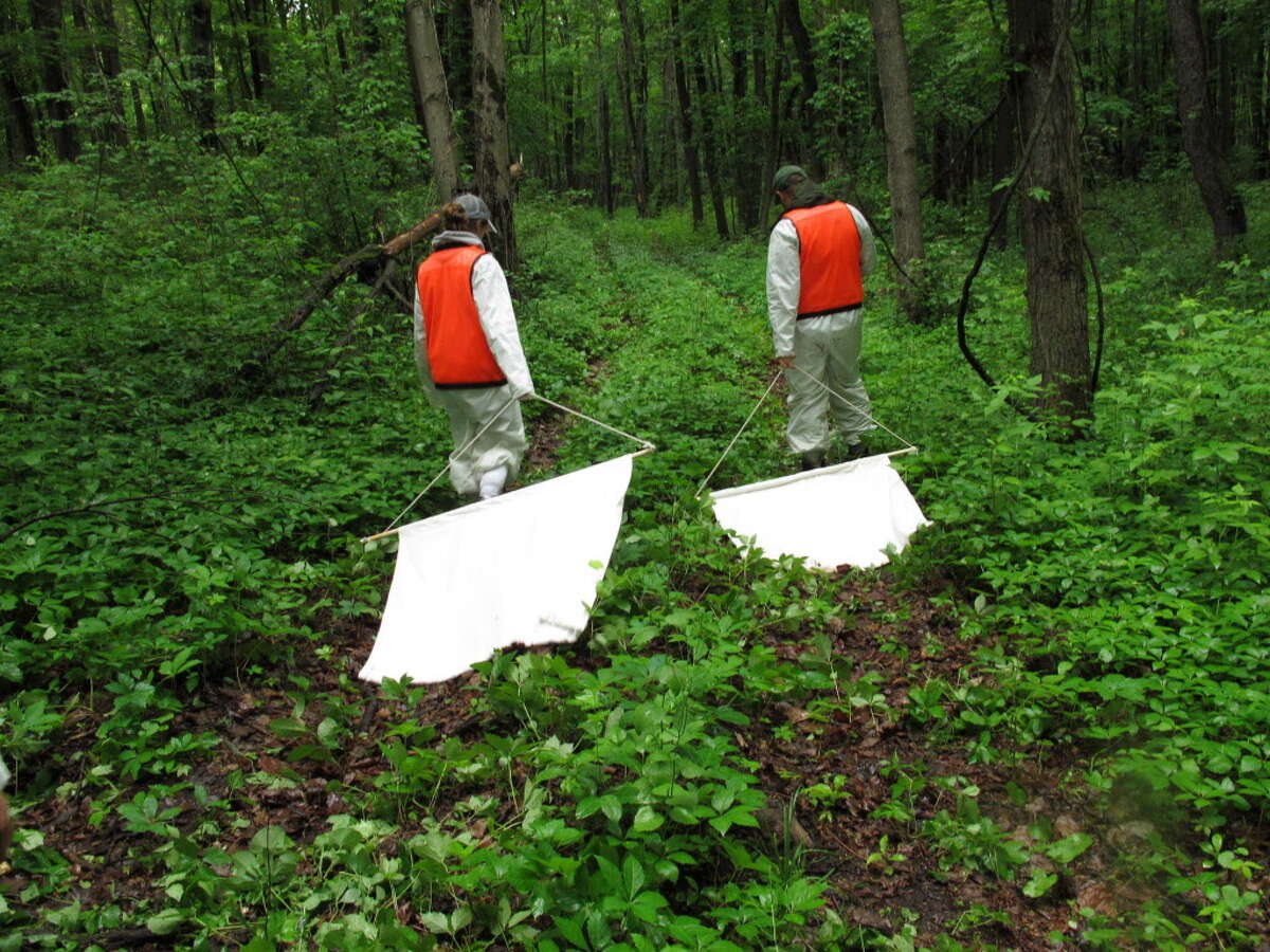 In a Thursday, June 12, 2014 photo, Samantha Durfey, left, and Christiaan King drag corduroy cloth squares through underbrush to collect ticks during field work at the Pine Bush Preserve in Albany, N.Y. (AP Photo/Mary Esch) (AP Photo/Mary Esch)