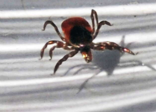 A deer tick  (John Carl D'Annibale / Times Union archive) Photo: John Carl D'Annibale / 00008822A