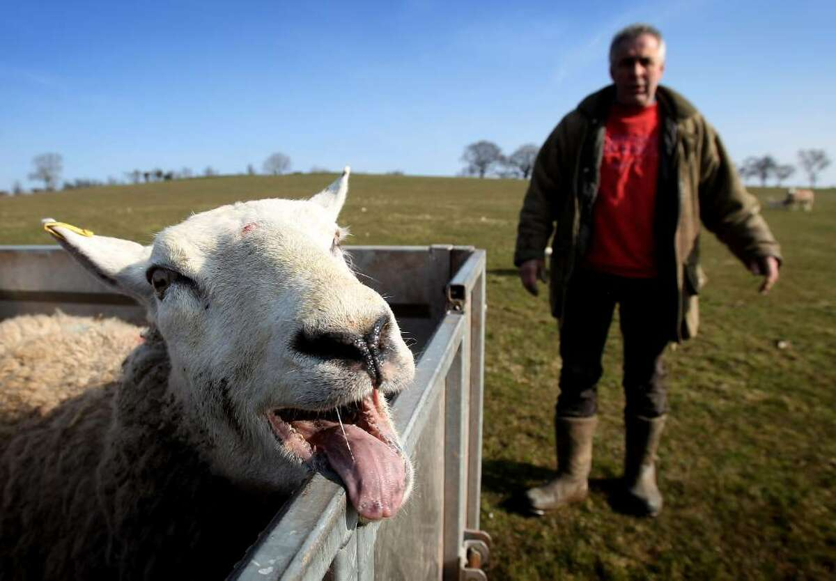 BRECON, WALES - MARCH 11: Farmer Dai Brute surveys sheep in one of his fields at Gwndwnwal Farm on March 11, 2010 in Brecon, Wales. Dai Brute runs Gwndwnwal Farm in Llan-Talyllyn, Brecon with his wife Dulcie Brute and son Paul Brute. February to May is lambing season where day and night is spent delivering new born lambs. The family is currently working hard during lambing season which lasts from February - May, during which their dedication and hard work can result in over 1200 new lambs being added to the flock over a season. (Photo by Chris Jackson/Getty Images) *** Local Caption *** Dai Brute
