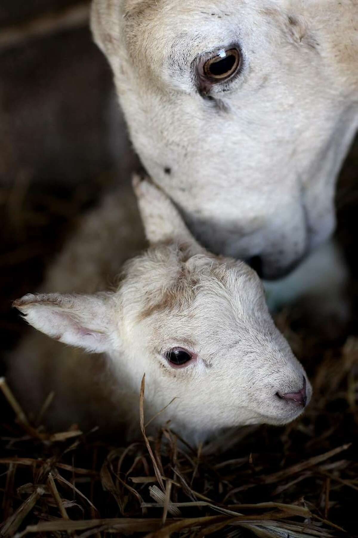 BRECON, WALES - MARCH 11: A sheep sniffs its lamb in the lambing sheds of Gwndwnwal Farm on March 11, 2010 in Brecon, Wales. Dai Brute runs Gwndwnwal Farm in Llan-Talyllyn, Brecon with his wife Dulcie Brute and son Paul Brute. February to May is lambing season where day and night is spent delivering new born lambs. The family is currently working hard during lambing season which lasts from February - May, during which their dedication and hard work can result in over 1200 new lambs being added to the flock over a season. (Photo by Chris Jackson/Getty Images)