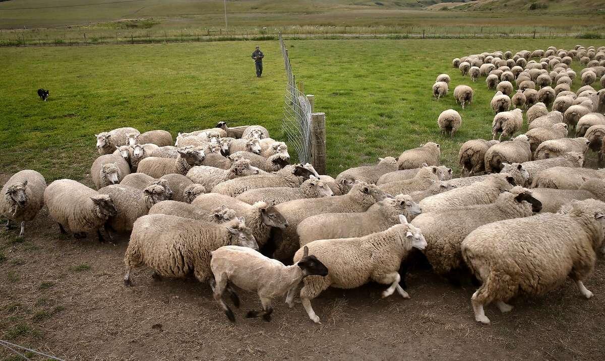 Sheep Rancher Chris Cornett moves a small flock of his sheep into a pen as seen on his ranch Wed. May, 27, 2015, near Petaluma, Calif.