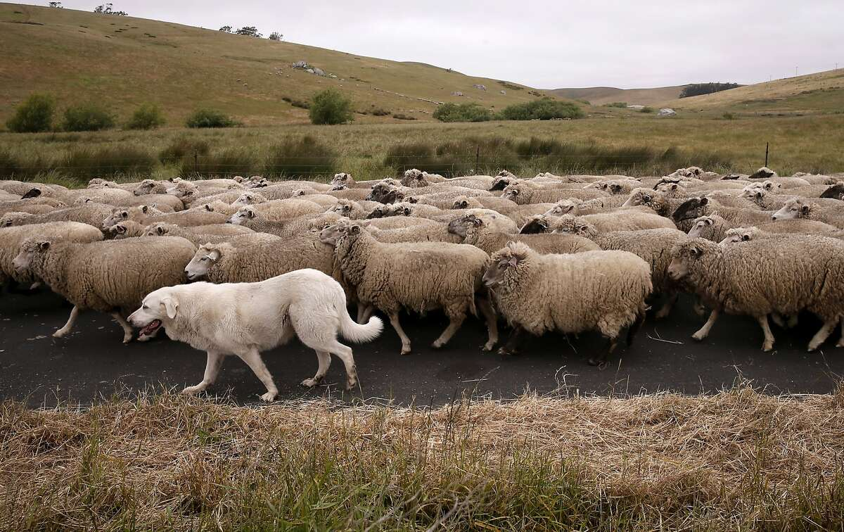 Sheep Rancher Chris Cornett uses Great Pyrenees dogs to guard his flocks of sheep as a form of non-lethal predator control, as seen on his ranch Wed. May, 27, 2015, near Petaluma, Calif.