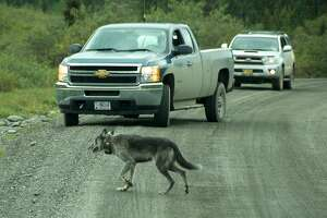 A wolf with a radio collar stops traffic in Denali National Park. Photo by John Flinn