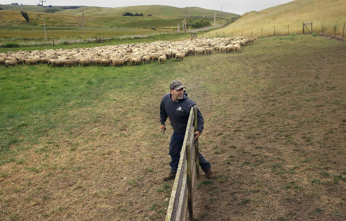 Sheep Rancher Chris Cornett secures a gate after moving a small flock of his sheep into a pen as seen on his ranch Wed. May, 27, 2015, near Petaluma, Calif.