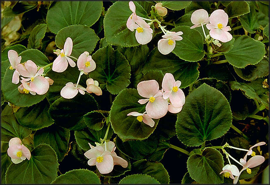 Establish waxleaf begonias in late spring or early summer, and they will endure summer sun. Photo: Horticopia