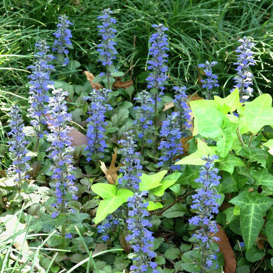 Ajuga produces spikes of purple blooms above deep green foliage. It's a pretty groundcover, but it often succumbs to disease. Photo: Courtesy Neil Sperry