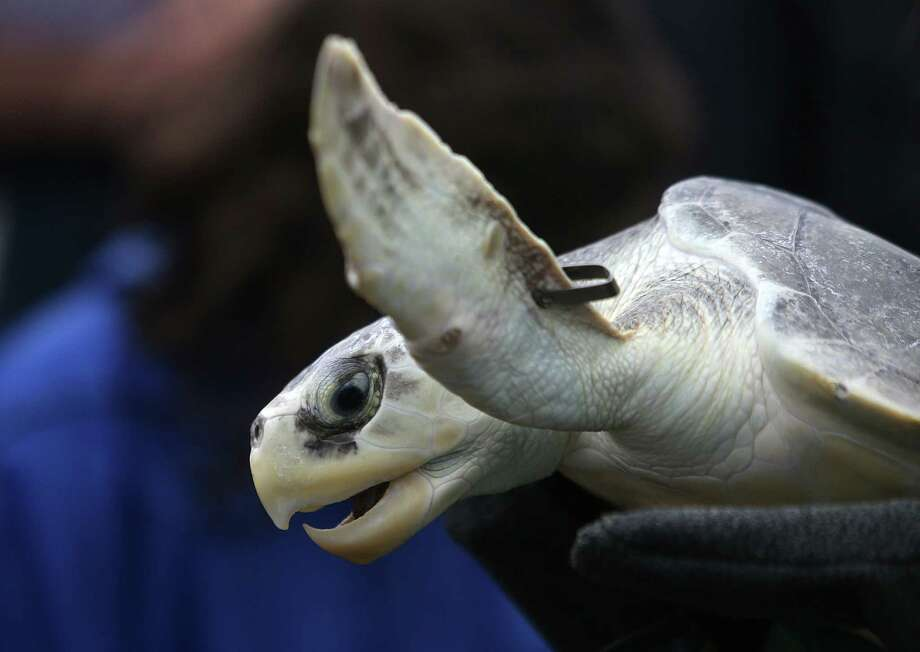 A Kemp's ridley turtle is released into the wild at Stewart Beach on Wednesday, May 27, 2015, in Galveston. Houston Zoo, NOAA Fisheries, Moody Gardens released 51 turtles. Forty-nine of the turtles are Kemp's ridleys and were part of a group brought in last December after suffering from the cold in Cape Cod, New England. The other two turtles, one Kemp's ridley and one loggerhead were already at NOAA facility for treatment and rehabilitation.  Photo: Mayra Beltran, Houston Chronicle / © 2015 Houston Chronicle