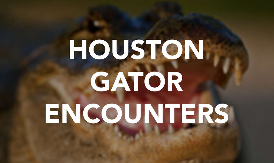 Keep clicking to see photos of past alligator encounters in the Houston area.