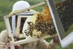 EPA plans temporary pesticide restrictions while bees feed - Photo