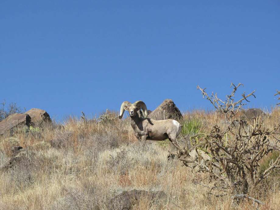 Native desert bighorn sheep, with a population of about 1,500 in the mountains of West Texas, face a challenge with aoudads, which can out-compete them for resources and breeding. Photo: Froylan Hernandez / Texas Parks & Wildlife