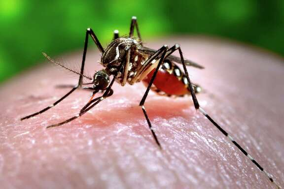 A female Aedes aegypti mosquito, which spreads the chikungunya virus, acquires a blood meal from a human host at the Centers for Disease Control in Atlanta. Mosquitoes will be worse than usual in Houston this summer after a wet spring.