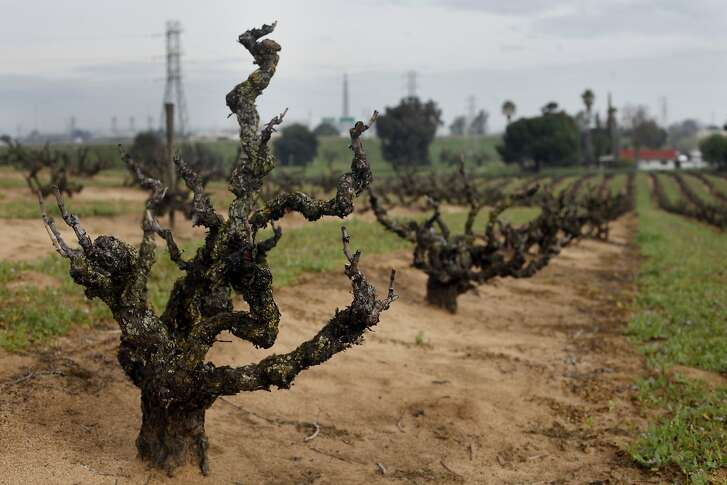 Winemaker Tegan Passalacqua makes wine from old vines such as these that are planned in sandy soil, Wednesday March 5, 2014, in Oakley, Calif. Passalacqua, who works for Turley vineyards is starting his own label called, Sandlands, because he some of his wines come from old vines are planted in a sandy soil.