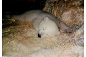 S.F. Zoo favorite, Piké the polar bear, dies at age 32 - Photo