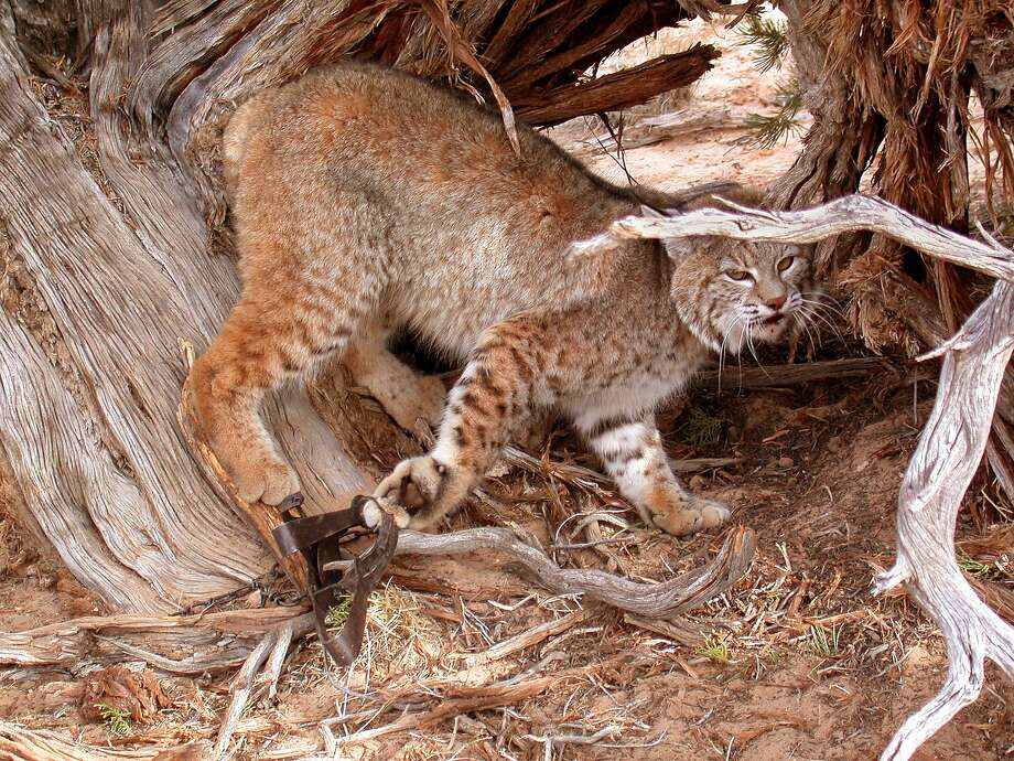 A bobcat caught in a leghold trap, a device banned by more than 80 countries but still legal in most states in the U.S. They are commonly used by USDA Wildlife Services. Photo: David Pettit, Courtesy Project Coyote