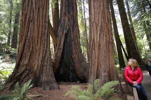 777-year-old tree is a babe in Muir Woods - Photo