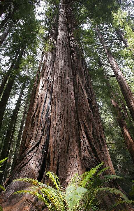A cluster of Redwoods at the Muir Woods National Monument, Calif. on Fri. May 29, 2015. The tree on the left was climbed by researchers, the first time even a tree was climbed in Muir Woods, where core samples were taken last year showed the tree being 777 years old. The trees are found in the Cathedral Grove area of Muir Woods. Photo: Michael Macor, The Chronicle