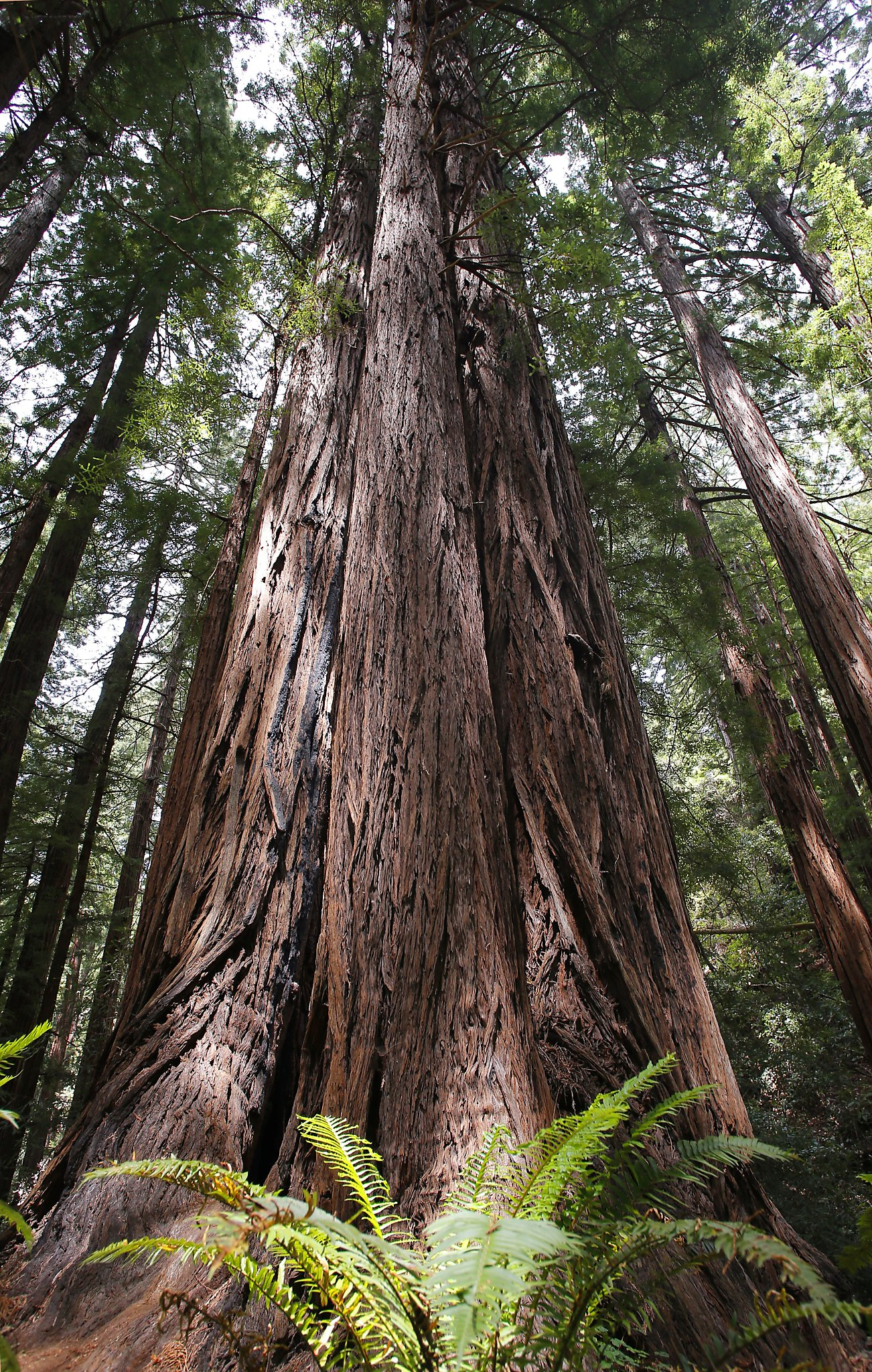 777 Year Old Tree Is A Babe In Muir Woods Sfgate
