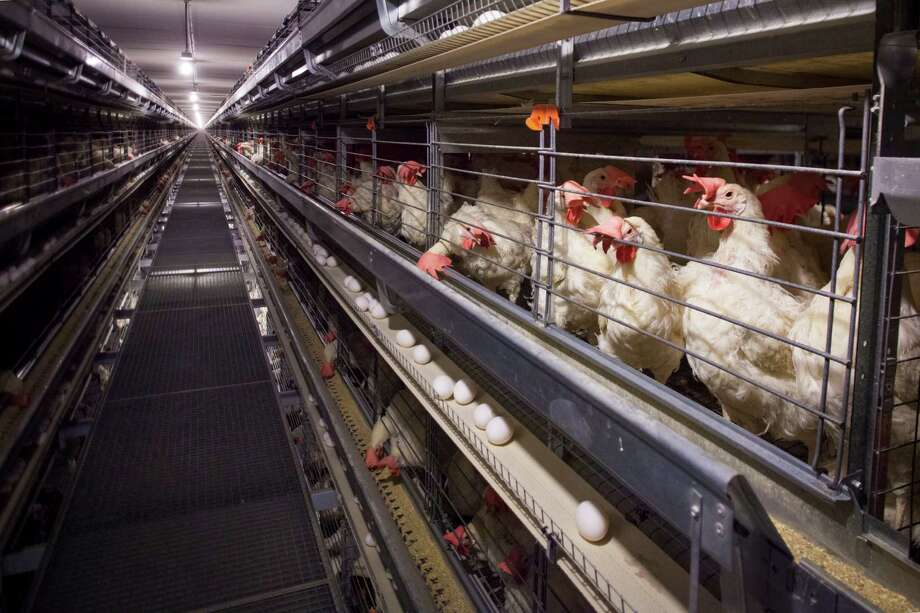 With the avian flu devastating a significant portion of the nation's egg-laying hens, major food companies and restaurant chains are bracing for shortages and scouting the country to find alternative supply sources. Photo: New York Times File Photo / NYTNS