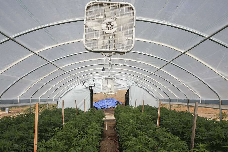 A greenhouse at a marijuana farm in southern Humboldt County, in California. Greenhouses consume significantly less energy than indoor farms. Photo: Sam Wolson, Special To The Chronicle