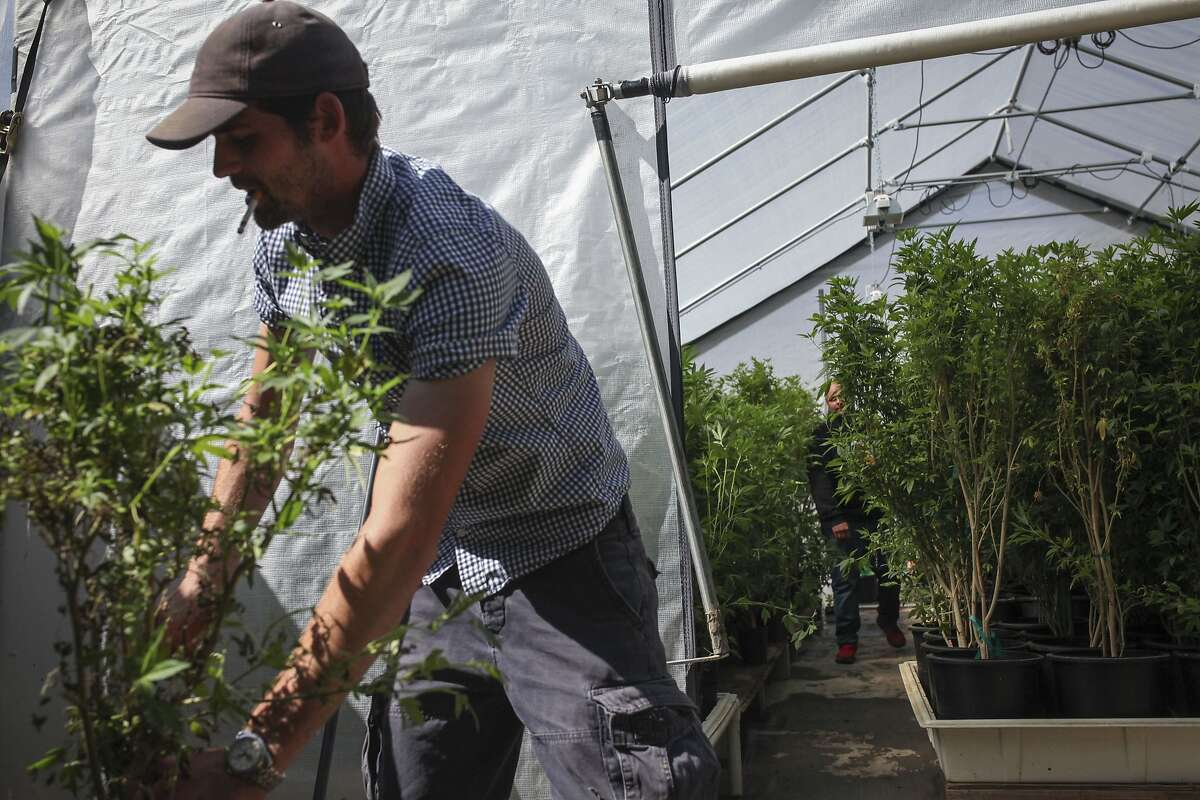 Joe Leaf, a gardener at Wonderland Nursery a marijuana clone farm in Garberville, cleans up dead plants outside of a greenhouse full of marijuana on May 29th 2015. Lt. Gov. Gavin Newsom came to the Nursery with the state?•s Blue Ribbon Commission on Marijuana Policy to explore the potential of legalization.