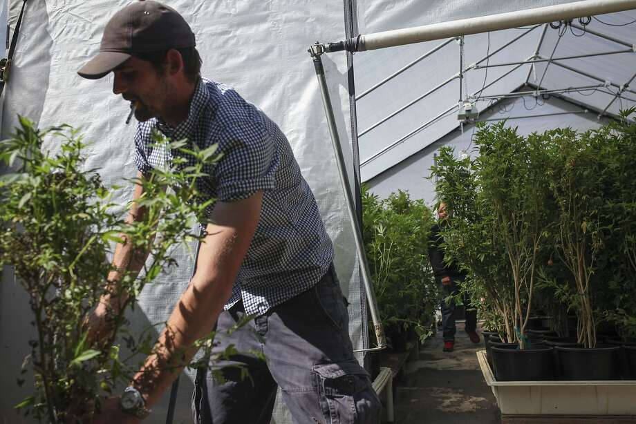 Joe Leaf, a gardener at Wonderland Nursery a marijuana clone farm in Garberville, cleans up dead plants outside of a greenhouse full of marijuana on May 29th 2015. Lt. Gov. Gavin Newsom came to the Nursery with the stateÕs Blue Ribbon Commission on Marijuana Policy to explore the potential of legalization. Photo: Sam Wolson, Special To The Chronicle