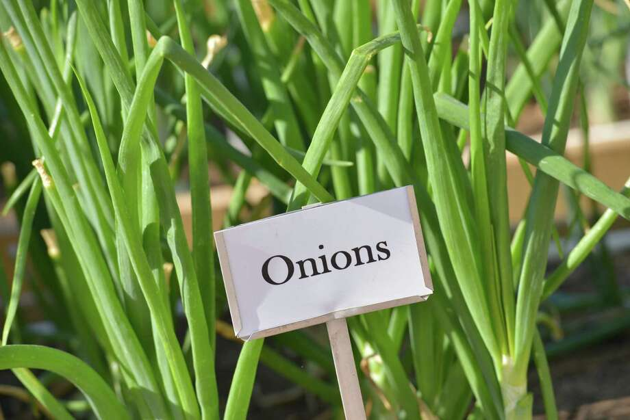 Onions will be ready to pull when the green tops flop over. Photo: Express-News File Photo