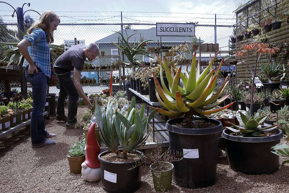Laura Wehrley (left) looks for succulents at Cactus Jungle nursery in Berkeley, California, with assistant manager Jeremiah Harper (left back) showing plants on Monday, June 1, 2015. Photo: Liz Hafalia, The Chronicle