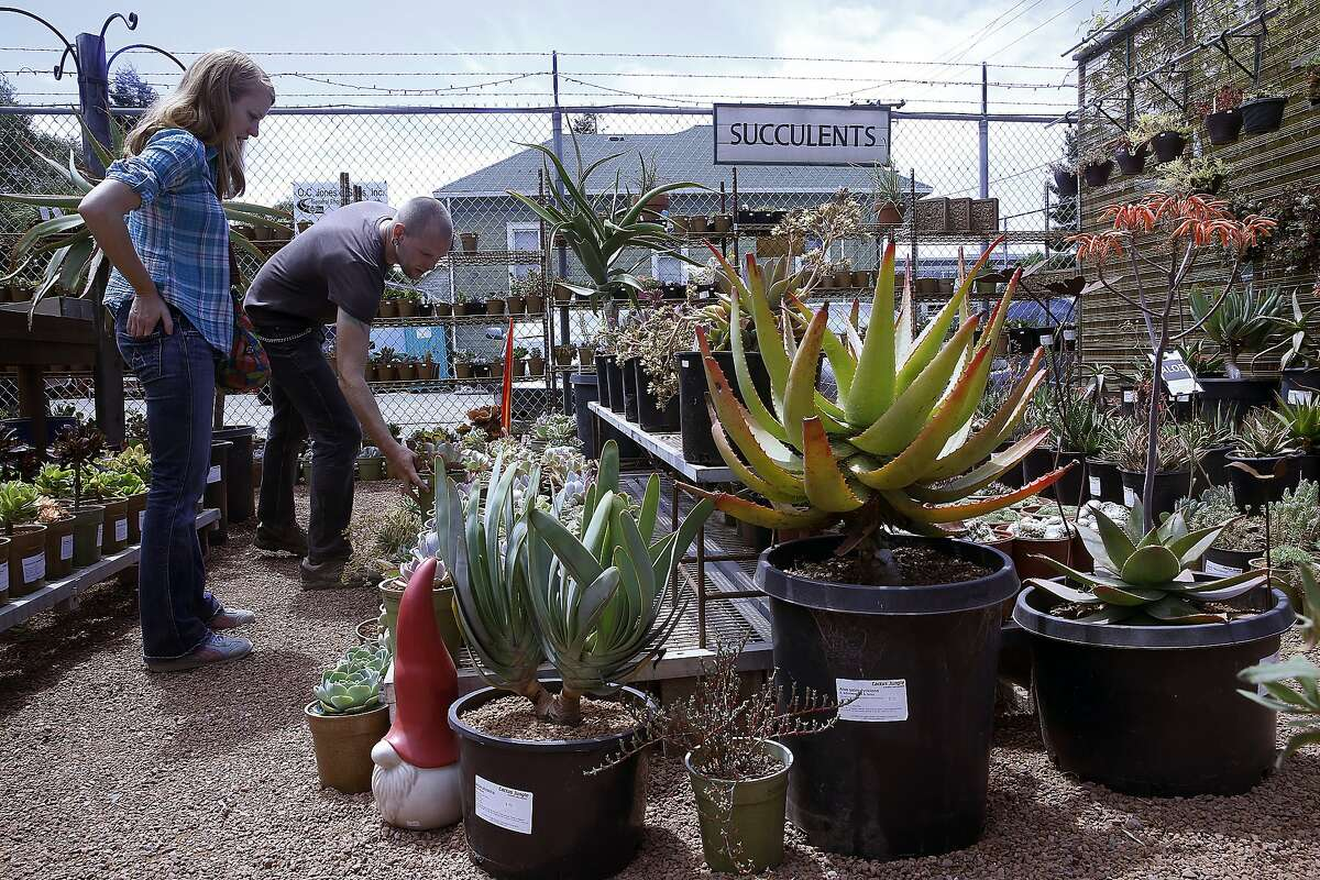 Laura Wehrley (left) looks for succulents at Cactus Jungle nursery in Berkeley, California, with assistant manager Jeremiah Harper (left back) showing plants on Monday, June 1, 2015.