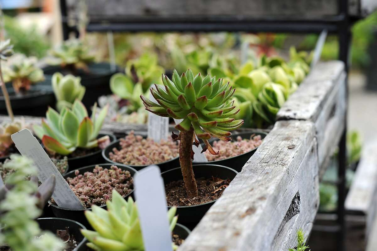 A selection of drought resistant succulents on display at the Emily Joubert Home and Garden store in Woodside, CA Monday, June 1, 2015.