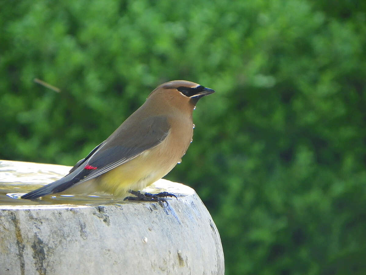 Water dribbles down the chest of an Eastern cedar waxwing drinking in the backyard of Janna and Greg Gibbons.