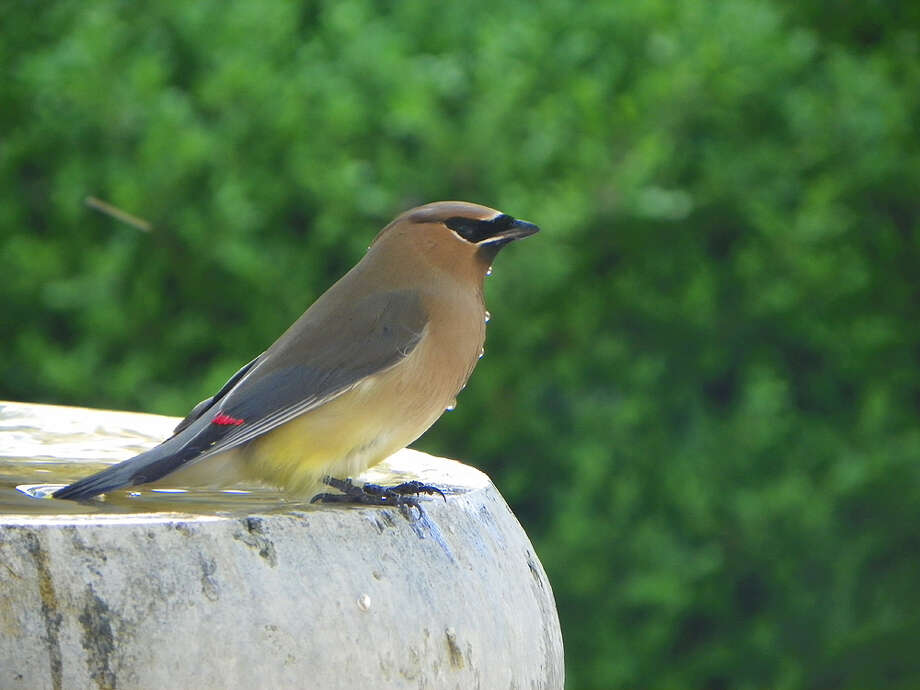 Water dribbles down the chest of an Eastern cedar waxwing drinking in the backyard of Janna and Greg Gibbons. Photo: Courtesy Janna Gibbons