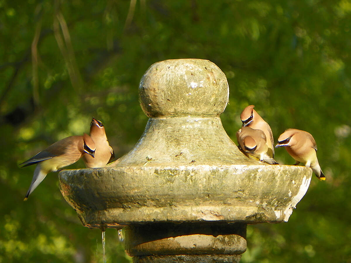 A stone fountain at the Northeast Side home of Janna and Greg Gibbons attracts cedar waxwings all winter.
