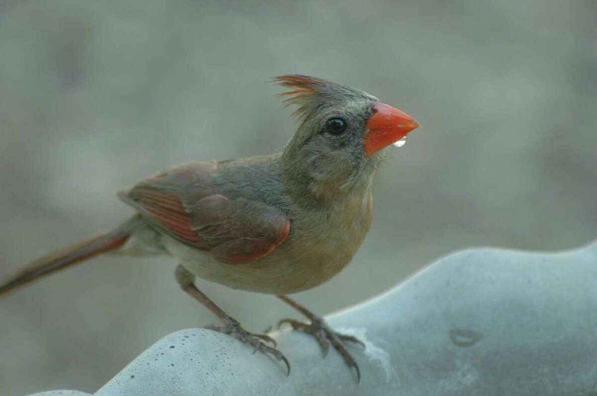 A female northern cardinal stops by for a drink in the author's landscape.