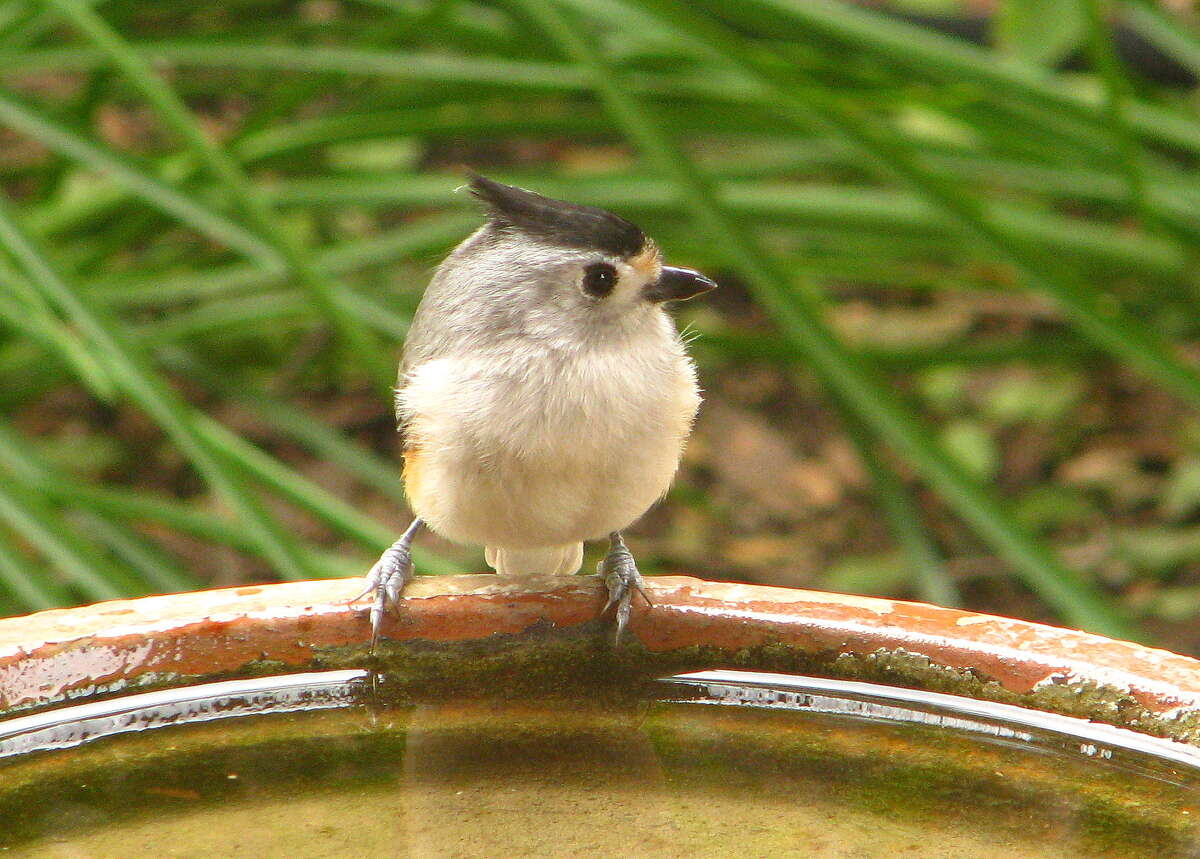 In dry times, birds such as the black-crested titmouse appreciate supplemental water in a bird bath. The water helps the birds and provides entertainment for the homeowner.