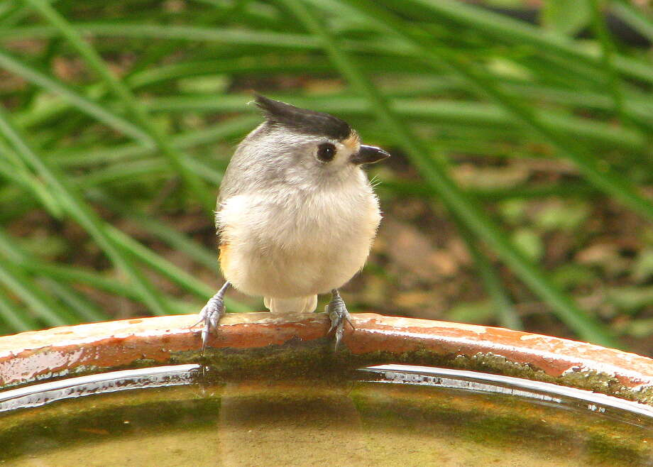 In dry times, birds such as the black-crested titmouse appreciate supplemental water in a bird bath. The water helps the birds and provides entertainment for the homeowner. Photo: Kathleen Scott /For The Express-News / San Antonio Express-News