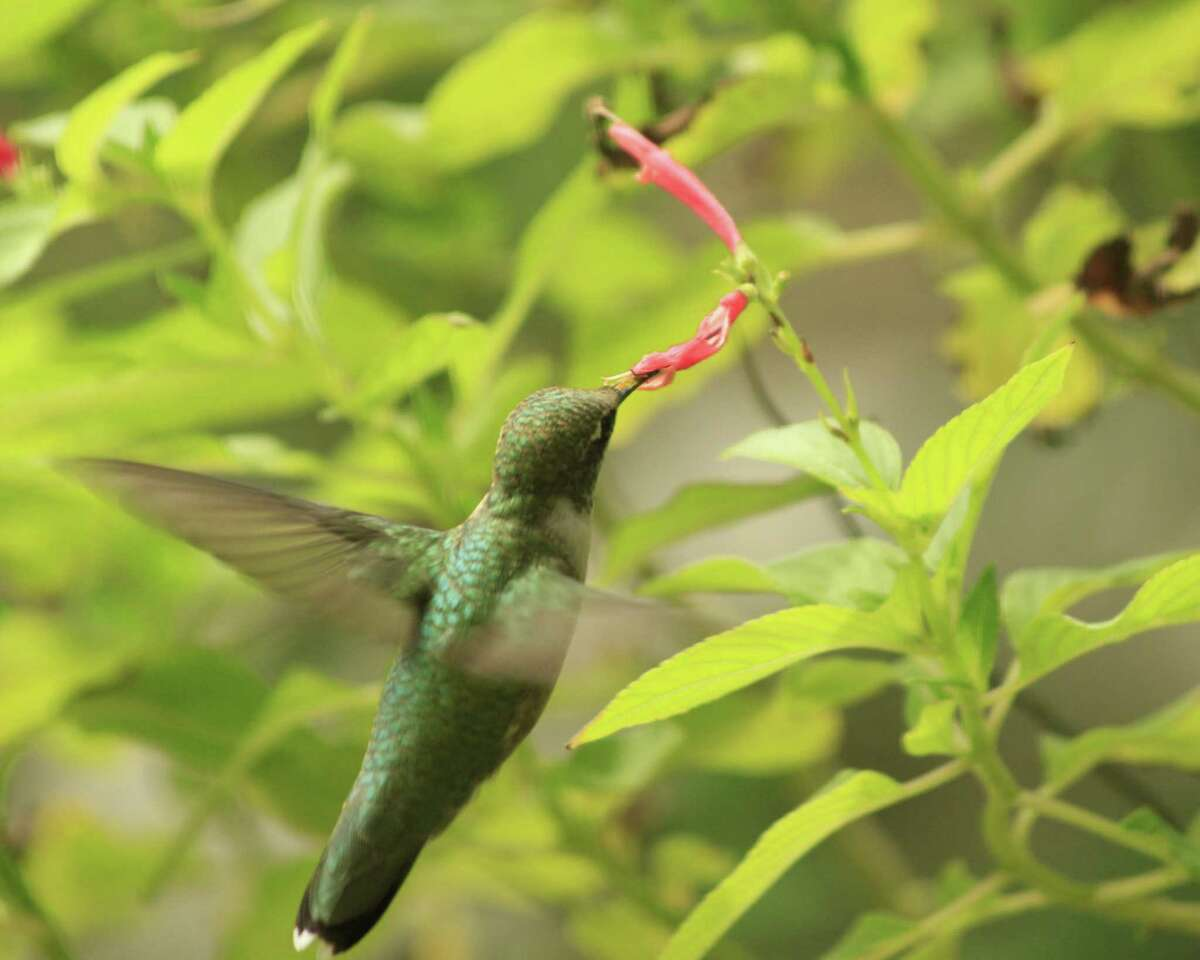 A hummingbird enjoys nectar from pineapple sage. Hummingbirds are attracted to red tubular flowers for nectar. Kathleen Scott for the Express-News.