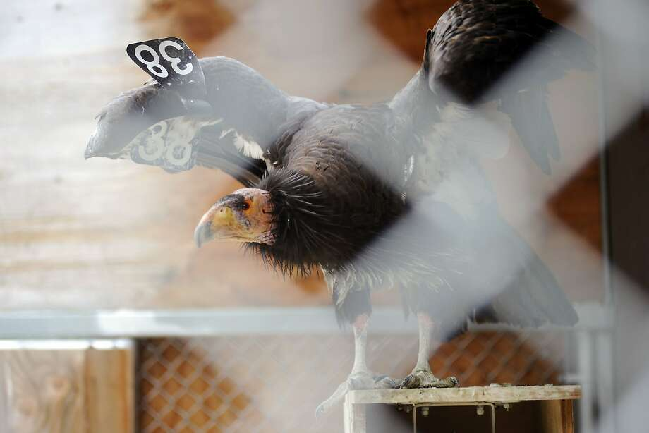 A female California condor named Miracle, that is being treated for lead poisoning at the Oakland Zoo's Condor Recovery Center, rests in her cage, in Oakland, CA Tuesday, June 2, 2015. Photo: Michael Short, Special To The Chronicle
