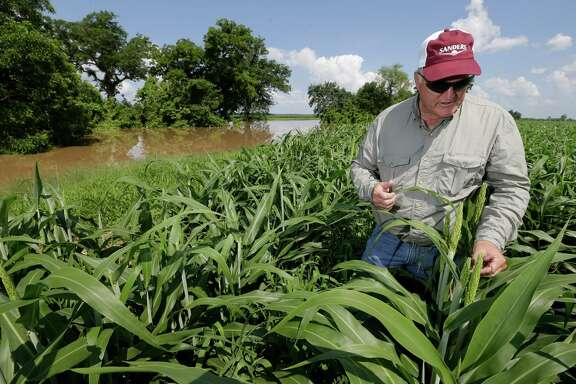 Curt Mowery is shown standing in a field of grain sorghum where flooding from the Brazos River has covered his access road back into 175 acres of flooded grain sorghum fields off Road 42 in Rosharon Tuesday, June 2, 2015. The front 35 acres is partially flooded.