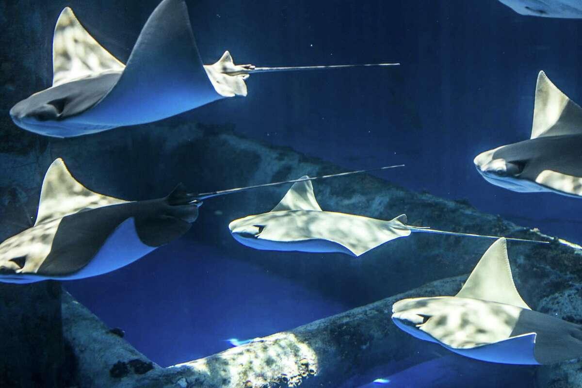 Juvenile Cownose rays glide through the Islands of Steel exhibit at the Texas State Aquarium in Corpus Christi, Texas.