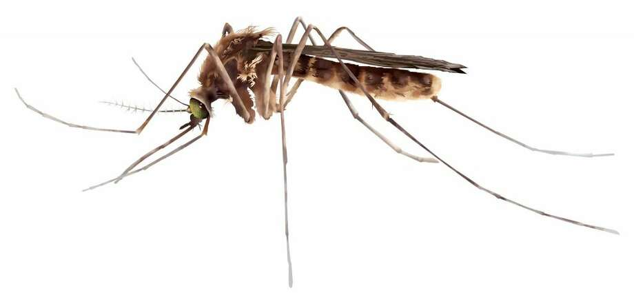 Finally some good Zika news: Those ubiquitous Culex mosquitoes found in Houston and much of the U.S. don't transmit the virus, according to a new study. It's just Aedes mosquitoes you have to worry about.