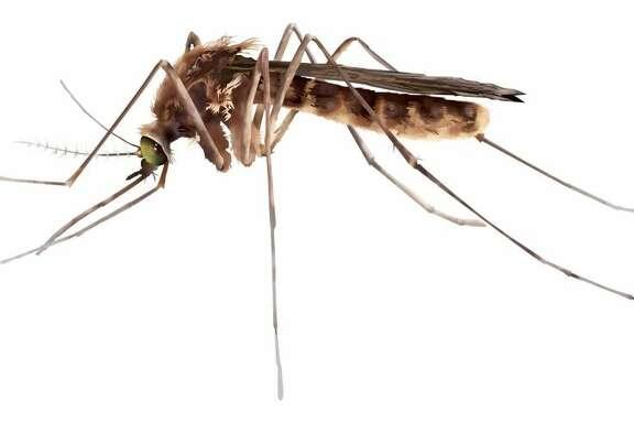 El mosquito Culex porta el virus del Nilo y tiende a estar más activo durante el amanecer y el atardecer.