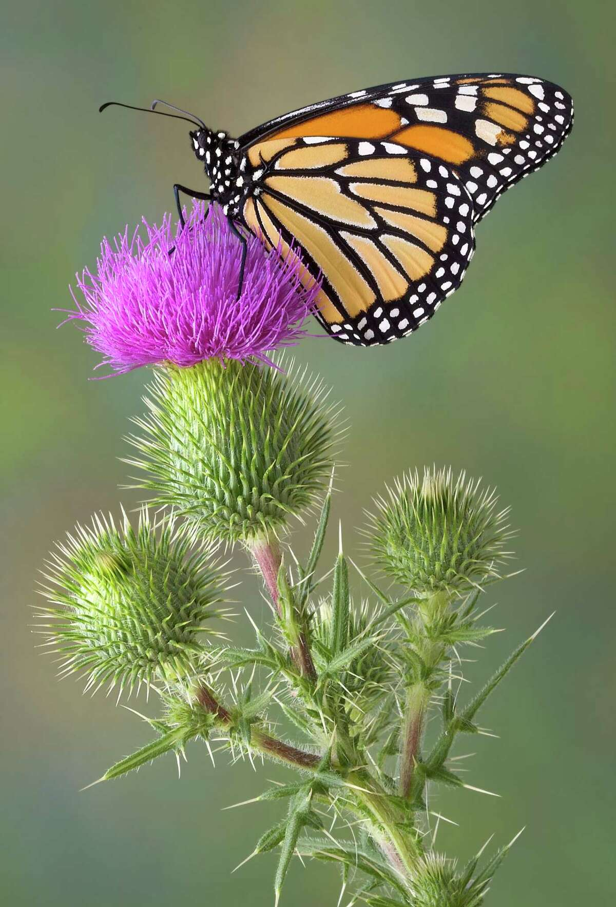 Take a hike through the Katy Prairie while learning about monarch butterflies during Monarch Madness at the Indiangrass Preserve.