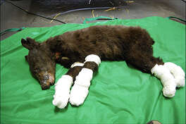 """""""Cinder"""" gets treatment for burned paws. Photo courtesy: Rich Beausoleil, Washington Department of Fish & Wildlife"""